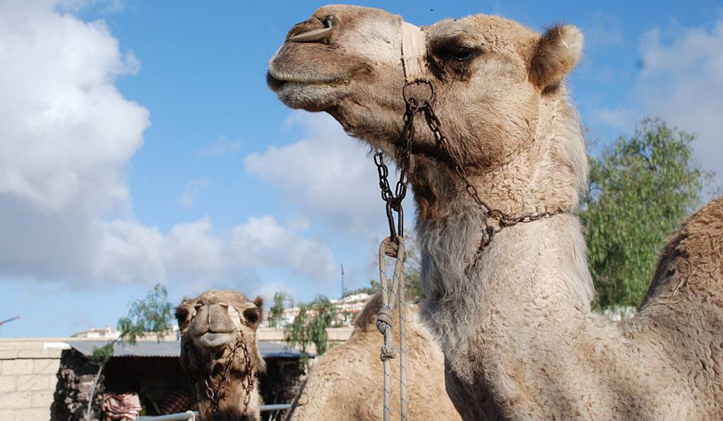 Парк Верблюдов на Тенерифе