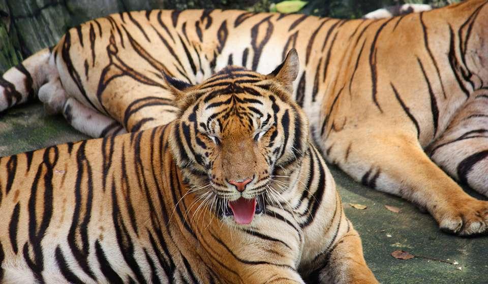 Sriracha Tiger Zoo